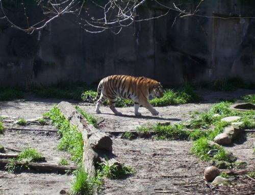 Tiger - A restless Tiger walking at the Cleveland Ohio zoo