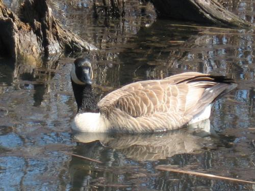 Canadian Goose - Taken at Springbrook Nature Center near my house early this spring. March 15th or so. I love taking all types of photos be it nature, people, animals, flowers, etc.