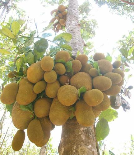 jack fruit tree - count the no of fruits