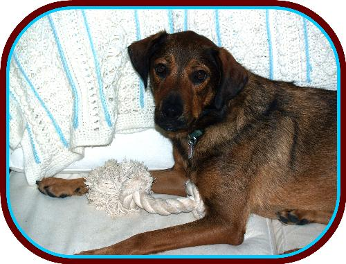 Jared - A Shepherd-mix I'm currently fostering for the Coppell Humane Societydog, 