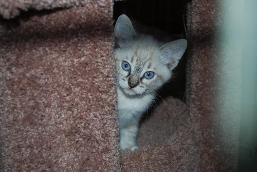 Blue Eyed Kitten - Cute blue eyed kitten looking for a new home