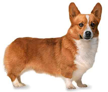 Pembroke Welsh Corgi - One of my favorite breeds, and sadly, the breed exploited in this freak's ploy at gaining publicity.