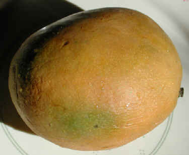 yellow mango - this is the pic of yellow mango