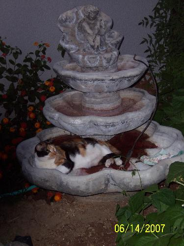 Abigail laying in our founatin in old red moldy wa - Abigain keeping cool I guess laying in the moldy water of our unused fountain. What a funny kitty. When she got up she had red mold on her fur. LOL