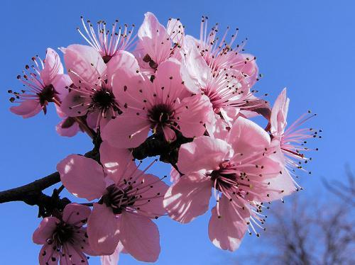 cherry blossom - the festival