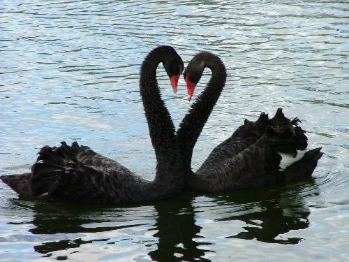 love swan - western springs nz