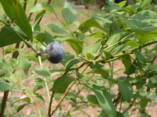 One lonely blueberry - My great blueberry harvest this year, preserved forever on film. I may eat it tomorrow!