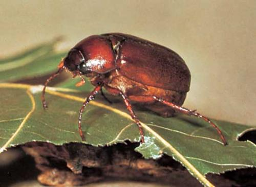 June Bugs - A photo of a June Bug.