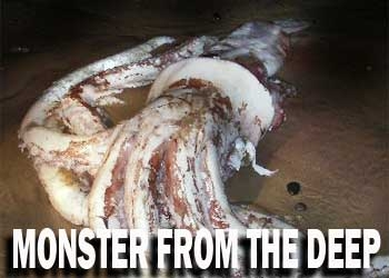 giant squid - a giant squid found on the beach of tasmania,australia