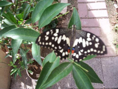 lemon swallowtail butterfly - pretty picture, dont you think so? :)
