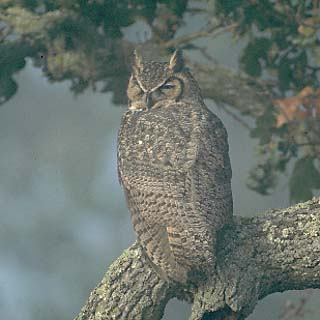 Owl - The eyes can penetrate darkness, seeing the most minute prey in the dark. It is a night bird of prey.