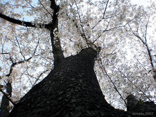 "Sakura tree - Photo of a Sakura tree sometime in April this year of 2007. This month and season is celebrated by the Japanese people by going out to the field and do some party under the shade of the flowering sakura trees. They call it ""Hanami"" literally means viewing flowers."