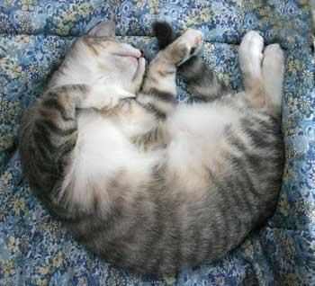 Dreamin'... - Sleeping cat