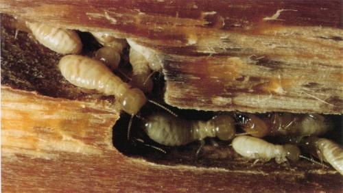 termite - termite infect my house