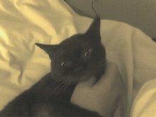 Luna - chocolate burmese cat