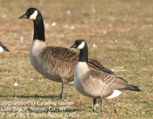 Canadian Goose - Canadian goose. Bird on the Canadian Dollar.