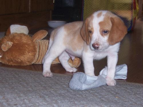 """Biscuit"" - This is a photo of my son's new Beagle puppy named Buscuit...."