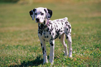 Dalmation puppy - This is a Dalmation puppy staring at the neighbourhood cat. The dog is a girl, but haven't decided on name yet. Isn't she beautiful.