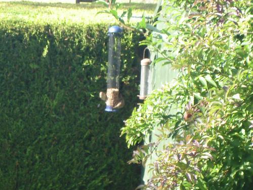 Birds Feeding On Peanuts - Autumn in the garden with Bluet*ts feeding from the peanut feeder.
