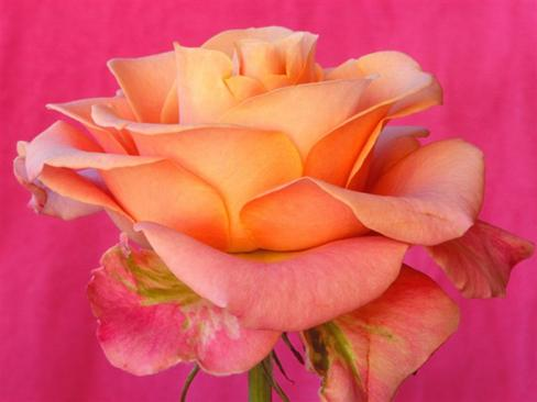 In the pink of health - The rose defines one's health