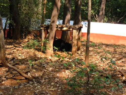 can u guess who is it? - Hi! its of course an Indian Bear resting in his hideout!
