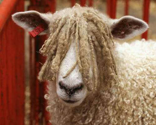 wool - lamb with the wool over its eyes