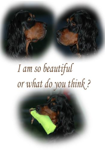 Gordon Setter colage - My frends gordon Setter in a photo colage.