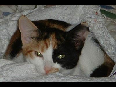 Calico  - Calico Cat