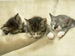 pretty cats - Three pretty cats,do you like them:)