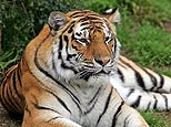 Tiger - Cute and cute