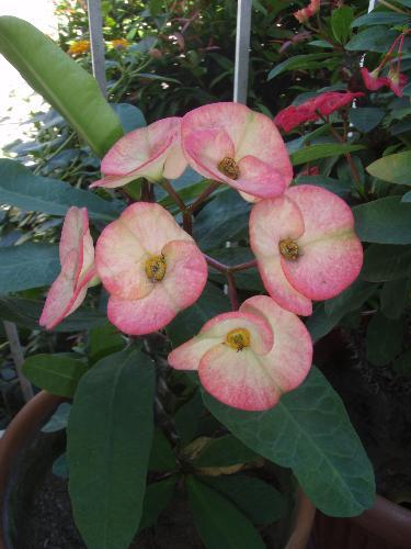 Euphorbia Milli - Pretty flowers..... scary thorns.... they need constant sunlight...minimal water...... loving caretaker