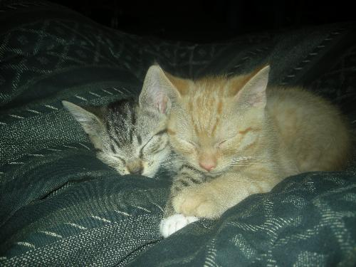 my kittens! - we named the yellow tiger brut, because hes BIG and we named the gray tiger tiny, cause shes SO small. they are brother and sister.. the little girl is 3lbs and the boy is 4lbs lol they are about 11 months old in the pic!
