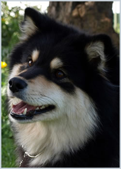 Finnish Lapphund - The Finnish Lapphund is a variation of the Spitz.