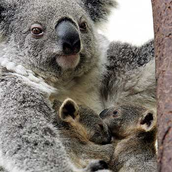 Koalas - Koalas are coming right into suburbia searching for water.