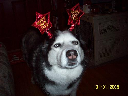 Princess Kayla - This is my Siberian Husky, but she looks alot like rudolph lol.