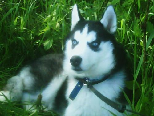 will he win cruffs??? - this is demon my sibberian huskie do u think he could win cruffs i think so!!!! please tell me what u think!!!!!!