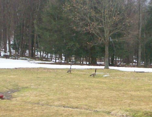 A Couple Geese - A copuple geese. I got about 50 feet from them before they took off.