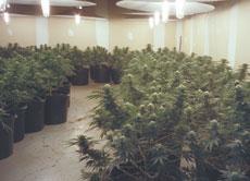 Grow Op - A marijuana grow op