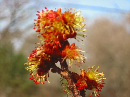 Beautiful Bloom - From my Red Maple Tree in Minnesota. 4-23-2008