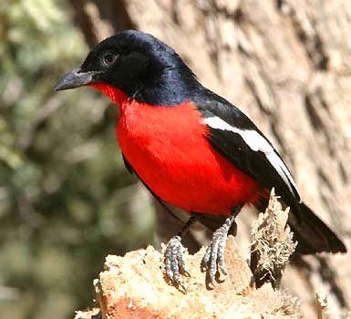 Brightly colored birds - Gonolek