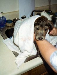 Shelby, as a puppy, getting her first bath at home - Shelby, my Australian Shepherd mix, as a puppy, getting her first bath at home