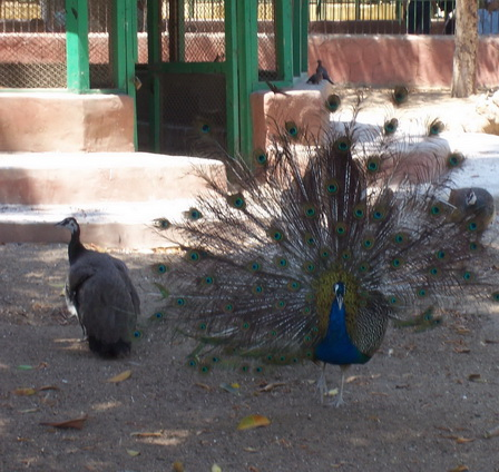 peacock  - it is a peacock philander a peahen in good way