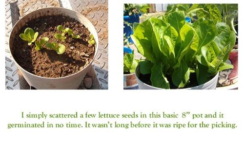 """Lettuce Seedlings and Ready for Picking - This lettuce was so simple to grow. I simply tossed a few seeds on top of a regular 8"""" pot of soil and within days had seedlings and not too long after it was ready to eat."""