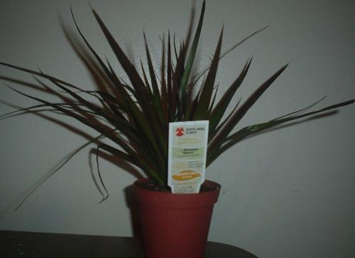 """Dracaena """"Magenta"""" Dracaena Marginata. - Plant from Home Depot"""