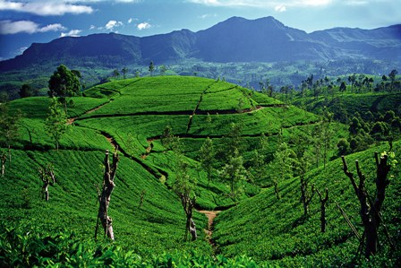 Tea State in Sri Lanka - This was a hill country Tea State of Sri Lanka