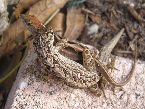 lizards - Found these this morning.