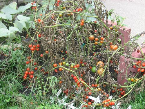 Grape Tomatoes - These are the last one. They aare all done for the season.