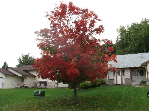 Red Leaves - Unknown type of tree to me but a beautiful sight none the less