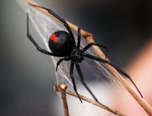 Redback Spider - The redback spider is native to Australia and is highly venomous!