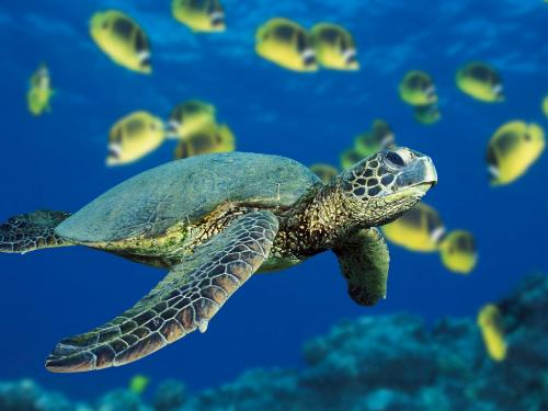Save the Turtles - It is a picture of a green Sea turtle. Before these turtles become extinct like most other species, we should try to save them.